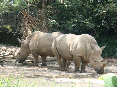 Tas C K Sumbu file badak sumbu di zoo negara malaysia jpg