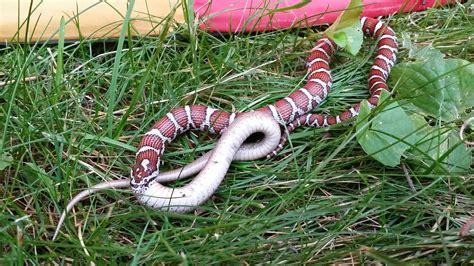 found a snake in my backyard found this in my backyard today an eastern milk snake