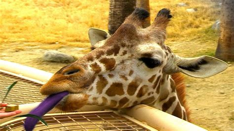 what color is a giraffe why do giraffes purple tongues