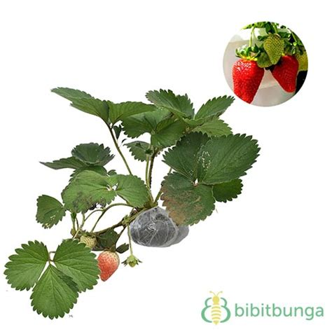 Tanaman Buah Cherry Barbados 1 Meter Siap Berbuah 6 jenis tanaman buah dalam pot yang cepat berbuah