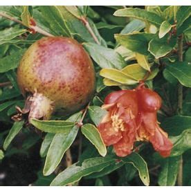 fruit trees at lowes trees lowes and pomegranates on