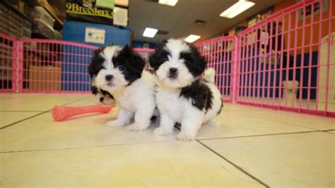 shih tzu puppies for sale in atlanta ga beautiful malti tzu puppies for sale in atlanta ga mix of maltese and shih