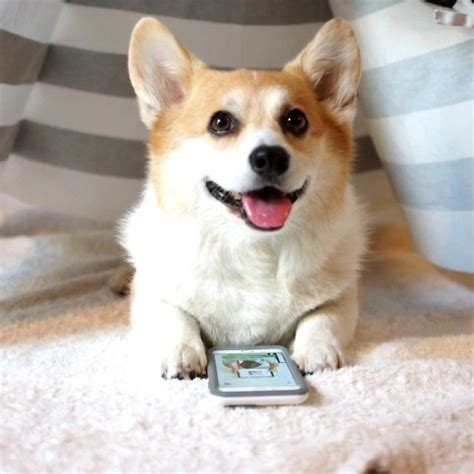 how many corgis does the 72 best images about corgis with books and computers on at work studying and plays