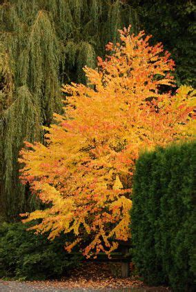 co horts the mid summer leaf drop blues ornamental trees katsura cercidiphyllum japonicum smells like caramel or cotton when
