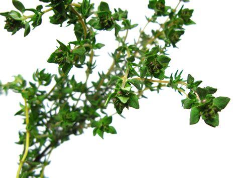Thyme Herbs thanksgiving herbs from the garden gardenswag