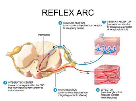 diagram of the reflex arc reflex ppt