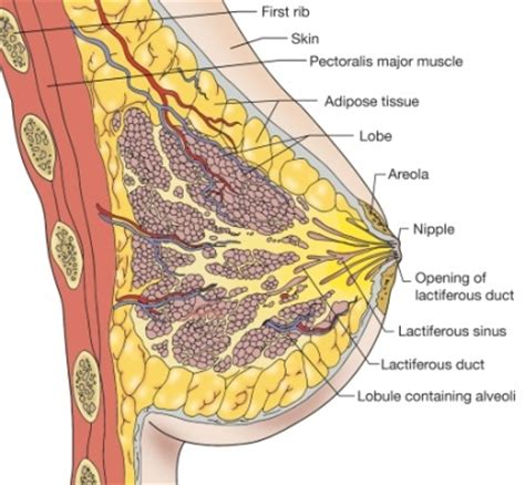 diagram of breast tissue anatomy image organs excellent 10 design diagram basic