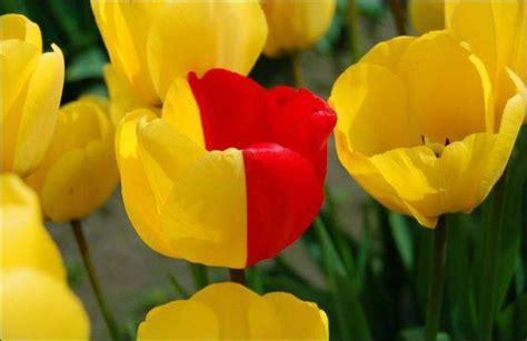 Obat Pembunuh Jamur Selangkangan taman bunga tulip terbesar di dunia di keukenhof gardens