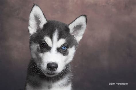 huskey puppies for sale siberian husky puppies for sale exeter pets4homes