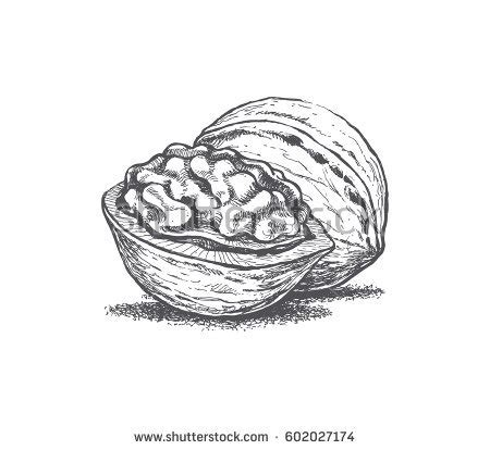 walnut tree coloring page walnut stock images royalty free images vectors