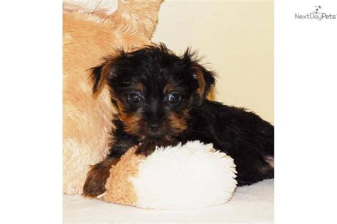 yorkie prices teacup terrier facts pets yorkie puppies prices breeds picture