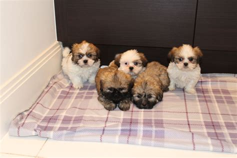 shih tzu puppies for sale in cheshire shih tzu puppies for sale ready now runcorn cheshire pets4homes