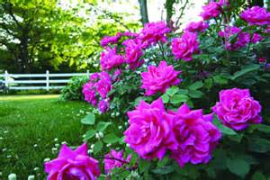 knockout colors knockout roses colorsugg stovle