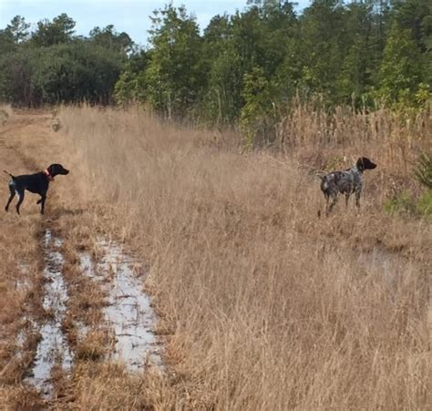german shorthaired pointer puppies nc foss a pepper the ole block