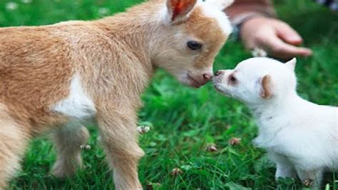 Cute Chihuahua Puppy Thinks She Is A Baby Goat