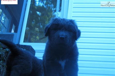 puppies for sale hudson valley ny grey newfoundland dogs breeds picture