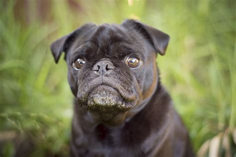 average age of a pug new year resolutions 2018 the pug diary