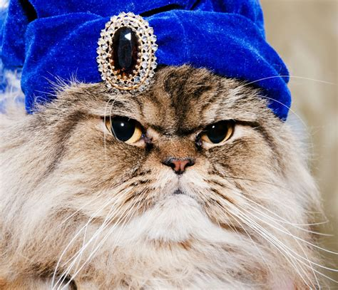 gatti persiani gatto persiano il micio pi 249 aristocratico c 232