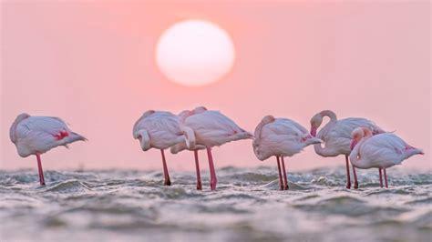 european flamingo bing wallpaper