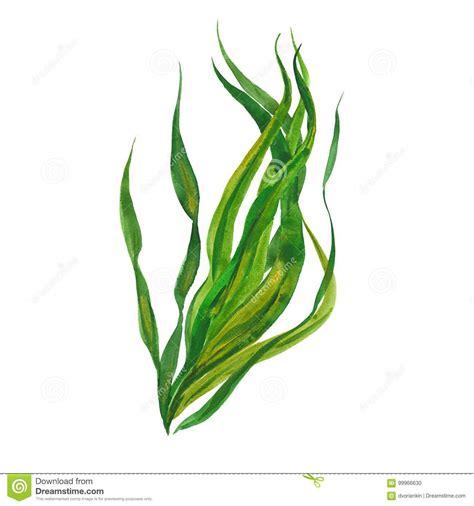 photos clipart kelp stock illustrations 3 163 kelp stock illustrations