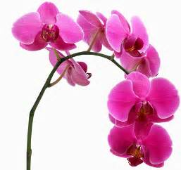 pink orchids canada floral delivery feeding your orchids
