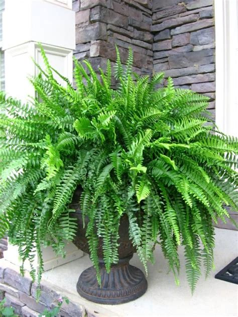 105 best ferns images on pinterest elephant ears green plants and house plants