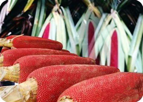 Buah Pepaya Merah manfaat minyak dan sari buah merah papua untuk kesehatan