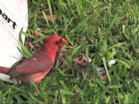 cardinal feeding baby birds awesome youtube