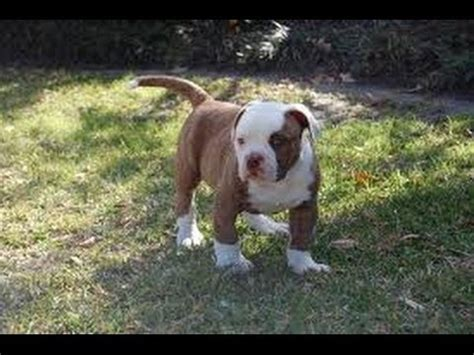 american bulldog puppies craigslist american bulldog puppies dogs for sale in tennessee tn 19breeders