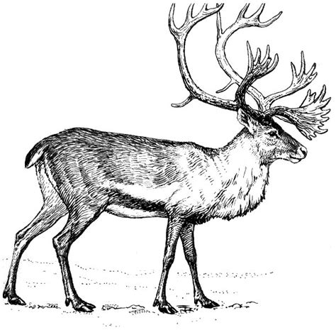 C Drawing Png by Caribou Drawing Animals C Caribou Caribou Drawing Png Html