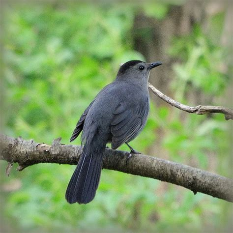gray catbird flickr photo sharing