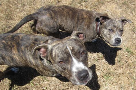 brindle puppies brindle types breeds picture
