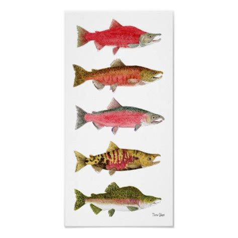 pacific salmon in spawning colors poster zazzle