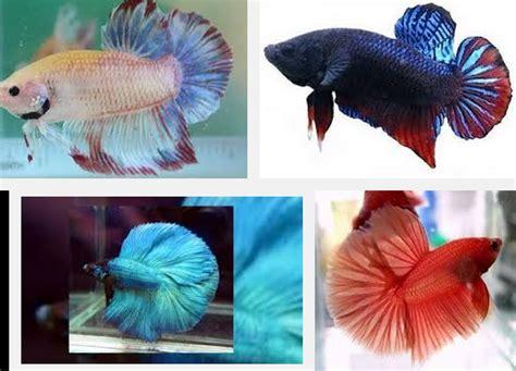 Makanan Ikan Hias Yang Baru Menetas inilah makanan ikan cupang terbaik dan bernutrisi tinggi