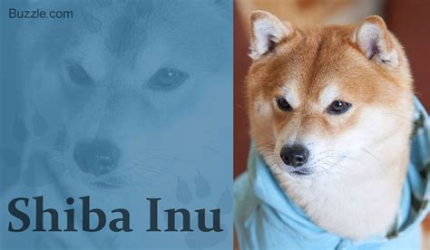 can foxes and dogs breed 12 breeds that look like foxes and are devilishly handsome