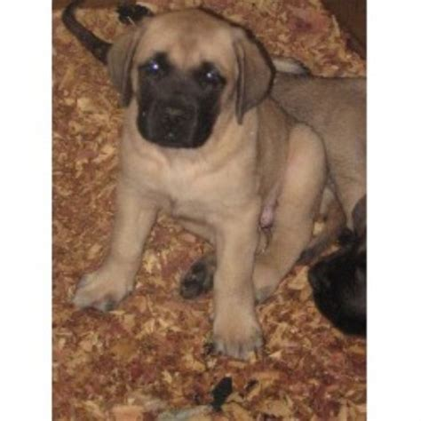 mastiff puppies ohio mastiff breeders in ohio freedoglistings page 2