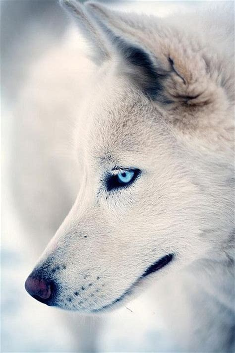 wolf husky puppies with blue eyes 34 best images about i