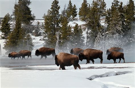 yellowstone national park animal photo u s fish wildlife service denies endangered species act