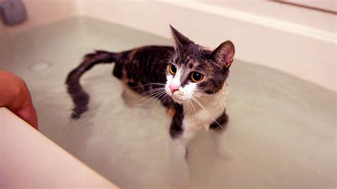 cat bathtub cats bath time 24 youtube