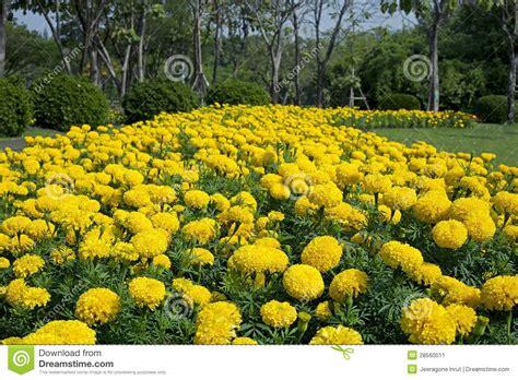Marigold Flower Garden Marigold Flower Garden Stock Image Image 28560011