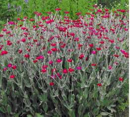 rose cion bright pink flower lychnis coronaria perennial 1 plant ebay
