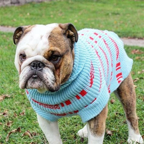 Nsweater Buldog 13228 best bulldogs images on