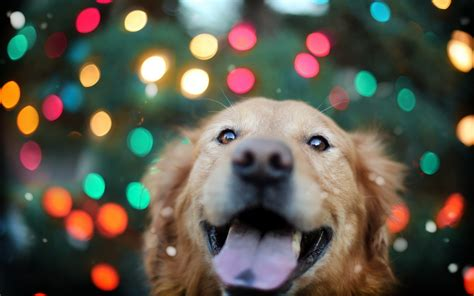 golden retriever desktop wallpaper golden retriever loyal hd desktop wallpapers 4k hd