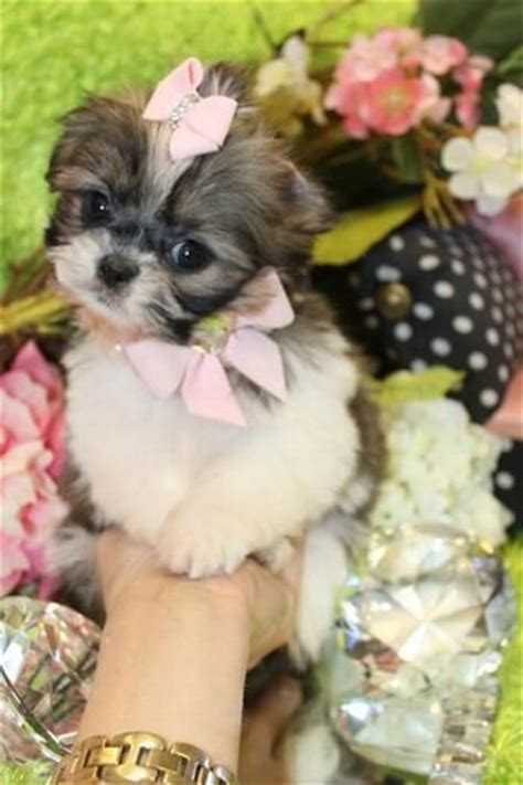 shih tzu breeders miami 4230 best images about shih tzu on