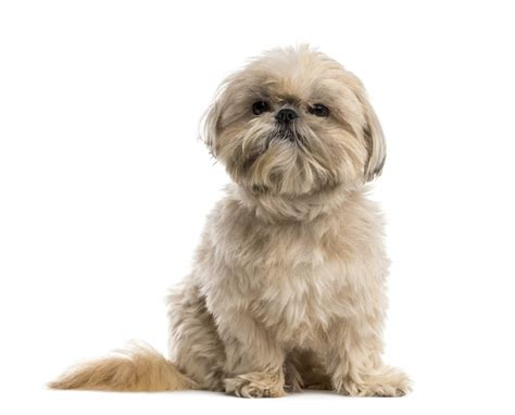 shih tzu breed information shih tzu dogs breed information omlet