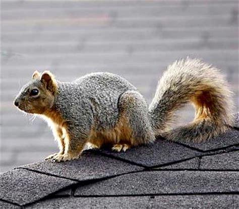 fox squirrel facts anatomy diet habitat behavior
