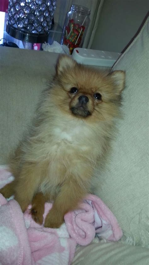 tiny pomeranian for sale small pomeranian puppy for sale cardiff cardiff pets4homes