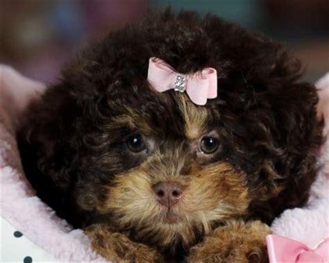 teacup poodle shih tzu mix for sale 25 best ideas about teacup pugs for sale on baby pugs for sale pugs for