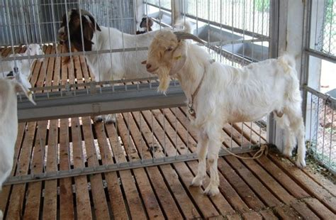 goat housing design goat housing shed information guide goat farming