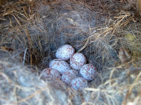chickadee eggs flickr photo sharing